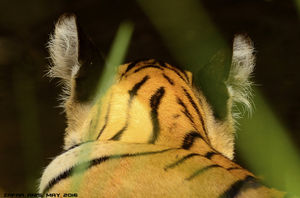 Because We Boast of Our Tigers in the Wild!