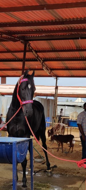 A Trip To Anthiur Horse Fair- One Of the Biggest In India
