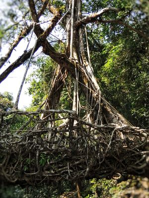 The Living Root Bridge~It is a sight to capture in your memories!