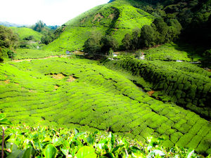 Tanah Rata Cameron Highlands 1/undefined by Tripoto