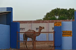 A Photo Story about the Camels of Bikaner