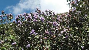 The Neelakurinji Flowers & Munnar.
