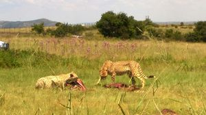 Big cats in Jo'burg