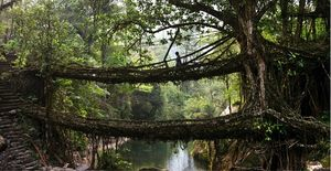 Double Decker Living Root Bridge - Meghalaya