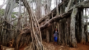Dodda Aladha Mara : 400 year old giant Banyan Tree