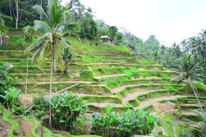 Exploring Bali on Scooter   Part 3  Tegalalang Rice Terrace (Ubud)