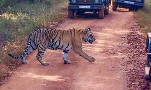 Tadoba…..Tiger trails.