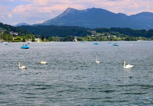 Swan - Beauty of Lake #lucerne #switzerland #BestTravelPictures