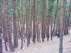 Pine Forest View 1/1 by Tripoto