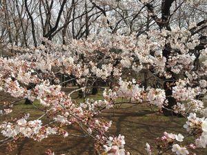 Cherry Bloosm viewing in Japan