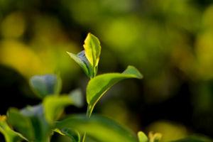 Tea, oranges and North Bengal