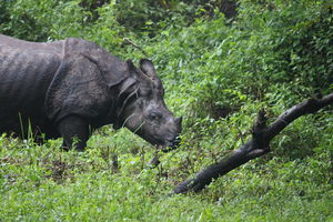 Spotting One-Horned Rhinos & Other Animals in Jaldapara, North Bengal