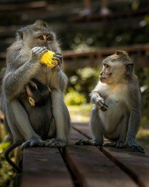 Monkeys of Ubud