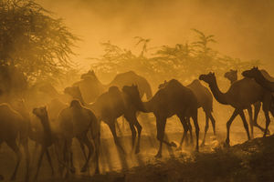 'The Rush' Camels marching towards the fair grounds during Pushkar Camel fair. #BestTravelPictures