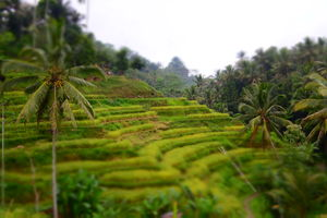 Tegalalang Rice Terrace 1/undefined by Tripoto