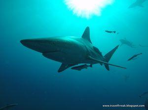 Shark diving near Umkomass, Durban