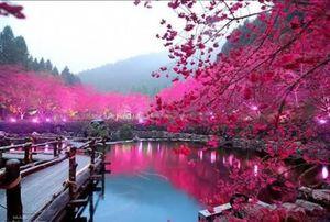 #Offbeatplace travel destination : A hidden Pink Paradise- Cherry Blossom Festival in Shillong!