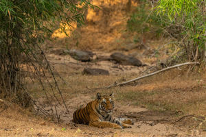 The unparalleled joy of spotting a wild tiger