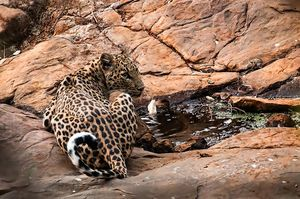 Spotting Leopards at the Jawai Leopard Camp