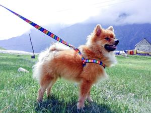 A Pomeranian's Tale of Road Tripping in Himachal #Travelwithpets
