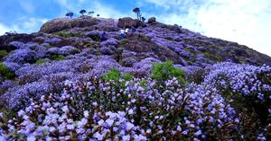 If you don't visit Kerala this monsoon, you'll see the blue Neelakurinji hills only after 12 years.