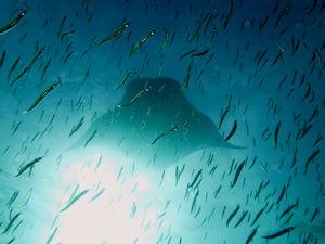 #BestTravelPictures - Wildlife:  Manta ray with glassfish @tripotocommunity