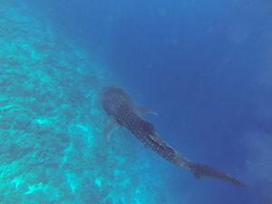#BestTravelPictures - Wildlife:  Whale shark @tripotocommunity