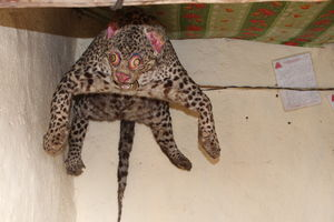 Get as Close as You Wish to a Snow Leopard, at this Monastery in Spiti Valley