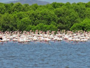 Winter Visitors, Flamingo Spotting in Mumbai