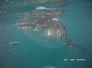 Oslob Whale Shark Watching 1/undefined by Tripoto