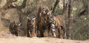 Tiger safari India: The Royal Beast in all its natural glory waiting for you