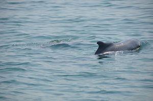 Dolphin Watch 1/1 by Tripoto