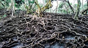 Devil roots of Kodaikanal ♥️
