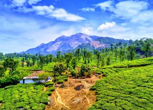 Tea Plantations of Nelliyampathy