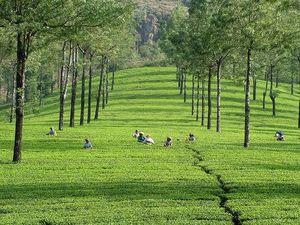 Vagamon to Kumily - The Unexplored Tea Route