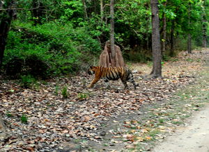 Heaven in the Wild! Kanha Tiger Reserve
