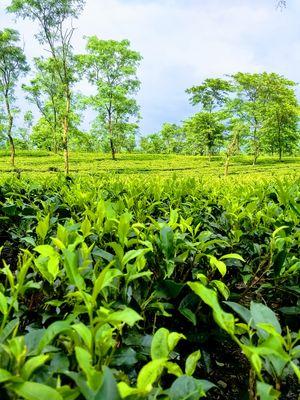 Chalsa Tea Garden 1/undefined by Tripoto