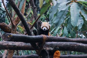 Red Panda, most laziest animal ever!