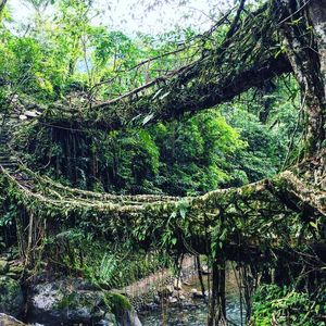 Living Root Bridge - when men & nature come together
