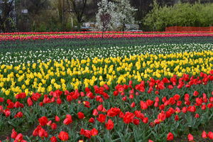 Tulip Garden 1/undefined by Tripoto