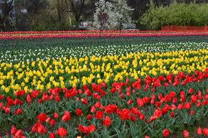 Tulip Garden 1/7 by Tripoto