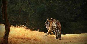 A bump in the peak season of tiger safari in Ranthambore