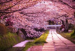 Japan's Cherry Blossom Trail Is Every Nature Lover's Delight