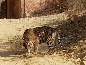 Meeting 4 tigers over one weekend at Ranthambore