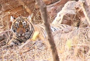 From Pug Marks to Alarm Calls: Stalking the Tiger in Ranthambore