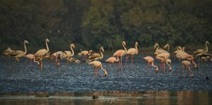 Flamingos : Thane creek