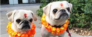 Kukur Tihar – A Nepalese Festival that Honors Dogs
