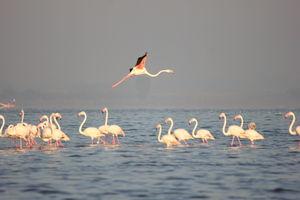 Venture in the Flamingo World - Bhigwan