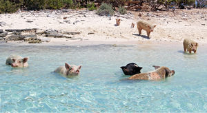 Everything You Need To Know About The Incredible Swimming Pigs of The Bahamas
