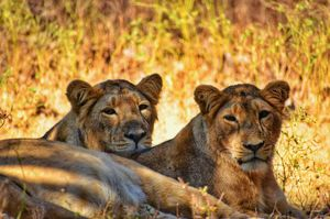 Experience an Encounter with Asiatic Lions from an Open Jeep Safari